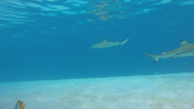 underwater view of snorkeling in moorea tropical island with blacktip sharks and stingrays. - moorea stock videos & royalty-free footage