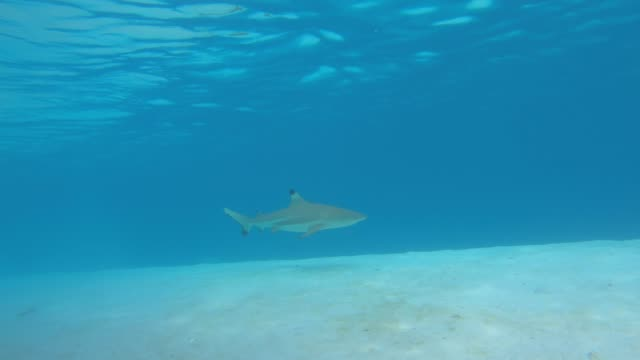 underwater view of snorkeling in moorea tropical island with blacktip sharks and stingrays. - solitude stock videos & royalty-free footage