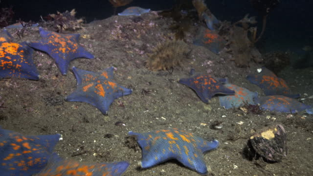 Underwater view of starfish and sea cucumber near the DMZ (Demilitarized Zone between South and North Korea), Goseong-gun