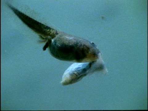 cu underwater view of tadpole eating another tadpole, usa - 水生生物 個影片檔及 b 捲影像