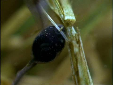 cu underwater view of tadpole feeding on plant, england - 淡水点の映像素材/bロール
