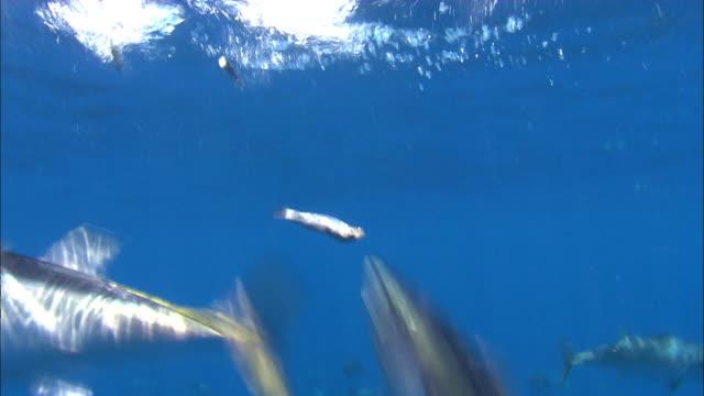 vídeos de stock e filmes b-roll de underwater view of tuna catching sardine bait near port lincoln, south australia - atum peixe