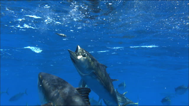 underwater view of tuna catching sardine bait near port lincoln, south australia - gill stock videos & royalty-free footage