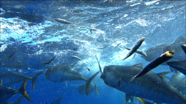 underwater view of tuna catching sardine bait near port lincoln, south australia - animal fin stock videos & royalty-free footage