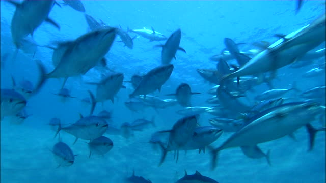 underwater view of tuna tornado in the mediterranean sea - fischschwarm stock-videos und b-roll-filmmaterial