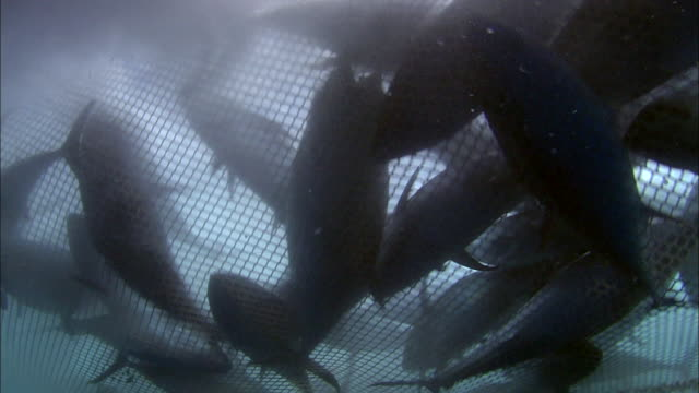 underwater view of tunas caught in a fishing net in the mediterranean sea - fishing net stock videos & royalty-free footage