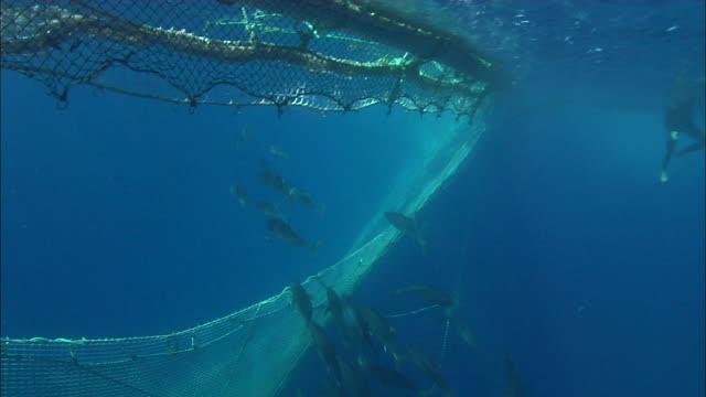 underwater view of tunas moving into a fishing net near port lincoln, south australia - gill stock videos & royalty-free footage
