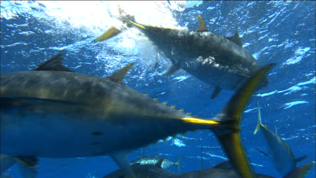 underwater view of tunas swimming in the mediterranean sea - dokumentarfilmmaterial stock-videos und b-roll-filmmaterial