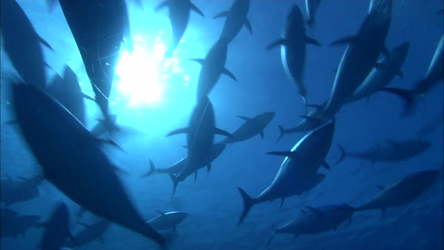 underwater view of tunas swimming in the mediterranean sea - sottomarino subacqueo video stock e b–roll