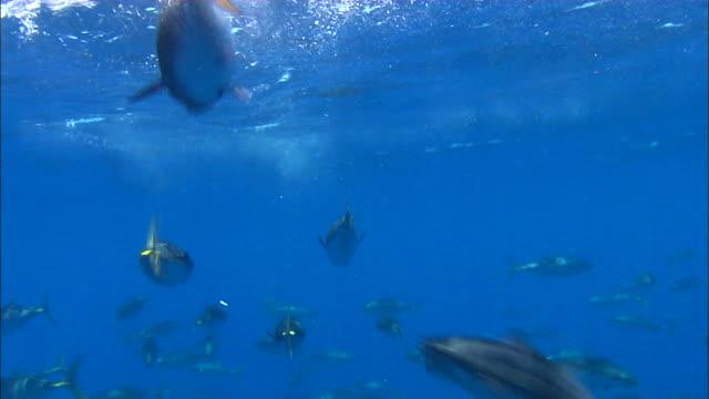 vídeos de stock e filmes b-roll de underwater view of tunas swimming in the mediterranean sea - atum peixe
