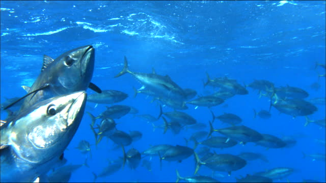 stockvideo's en b-roll-footage met underwater view of tunas swimming in the mediterranean sea - staartjes