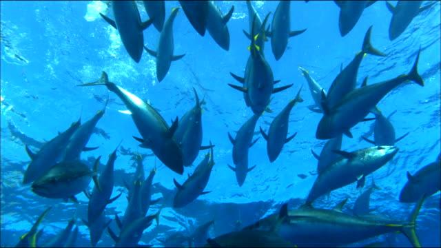underwater view of tunas swimming in the mediterranean sea - branco di pesci video stock e b–roll