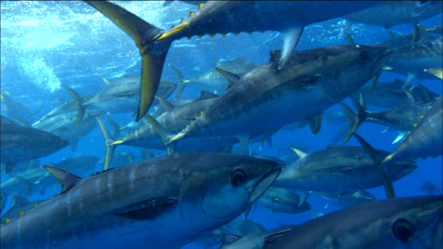 vidéos et rushes de underwater view of tunas swimming in the mediterranean sea - film documentaire image animée