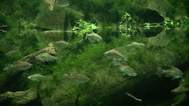 underwater view  on small calm fishes - amazonas state brazil stock videos and b-roll footage