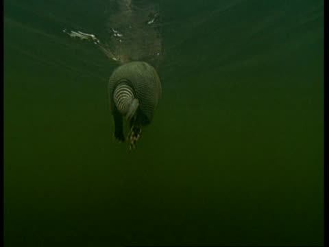 MCU Underwater view, tracking Armadillo swimming away from camera, South America
