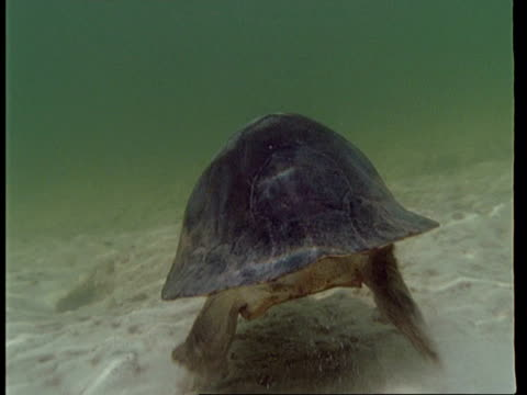 ms underwater view, tracking yellow spotted amazon turtle swimming away from camera, south america - 淡水点の映像素材/bロール