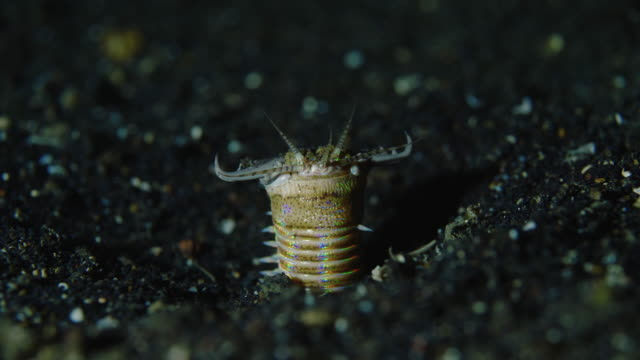 underwater view with bobbit worm in komodo island - worm stock videos and b-roll footage