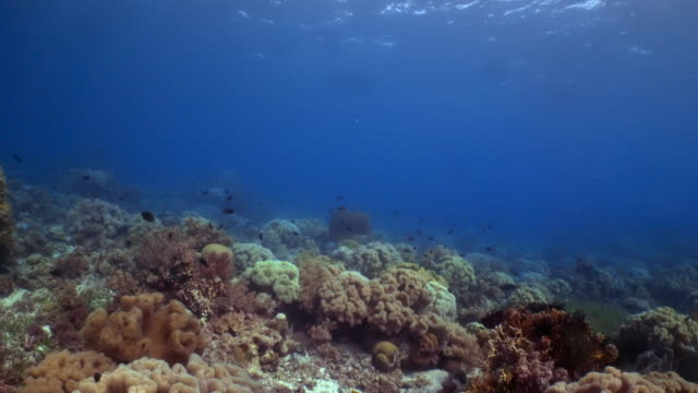 vídeos de stock e filmes b-roll de underwater view with coral and fish in philippines - coral cnidário