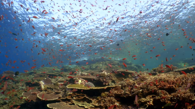 vidéos et rushes de underwater view with coral and school of fish in komodo island - récif corallien