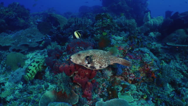 Underwater view with Map Pufferfish in Komodo Island