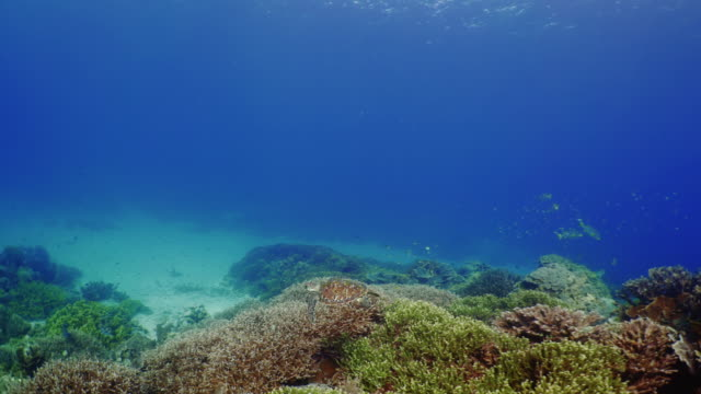 underwater view with sea turtle in komodo island - chelonioidea stock-videos und b-roll-filmmaterial