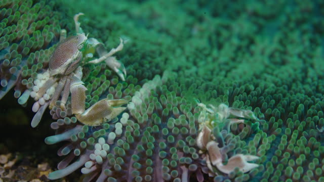 underwater view with spotted porcelain crab in komodo island - crab stock videos & royalty-free footage