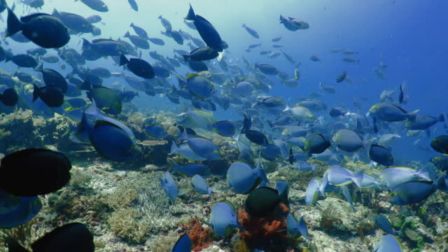 underwater view with surgeonfish in komodo island - saltwater fish stock videos & royalty-free footage