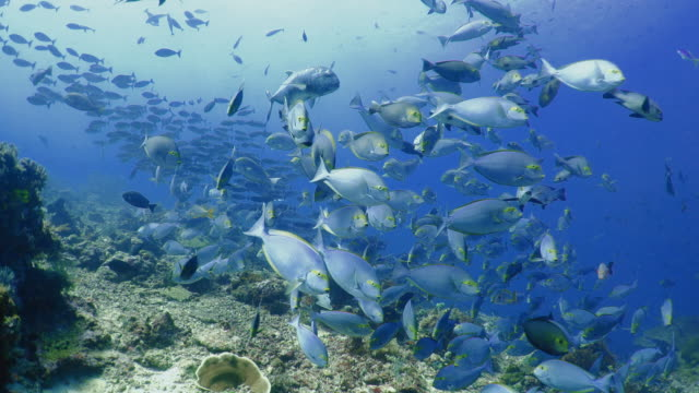 underwater view with surgeonfish in komodo island - fish stock videos & royalty-free footage