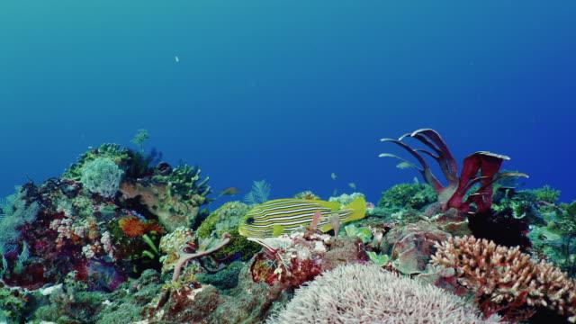 Underwater view with Threeband sweetlips in Komodo Island