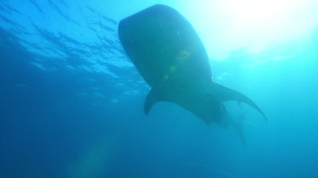 Underwater LA  Whale Shark swimming over camera just below surface with Remoras
