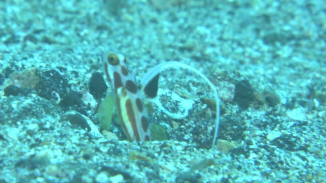 underwater, white rayed shrimp goby, izu oshima, japan - emergere video stock e b–roll