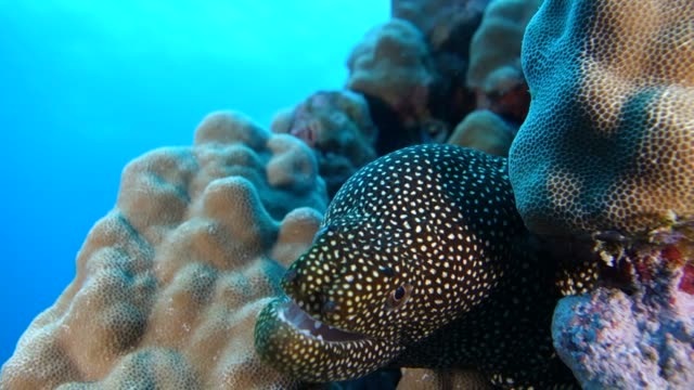 vídeos de stock, filmes e b-roll de underwater: whitemouth moray eel in coral reef - moreia