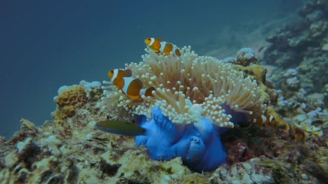underwater wild clownfish (amphiprion ocellaris) in magnificent sea anemone hecteractis magnifier) - coral stock videos & royalty-free footage