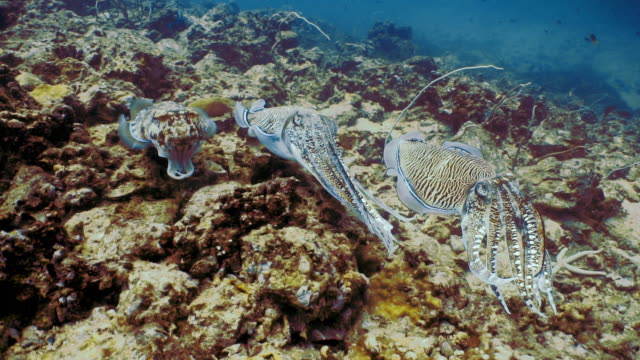 underwater wild pharoah cuttlefish (sepia pharaonis) cephalopod mating - animal colour stock videos & royalty-free footage