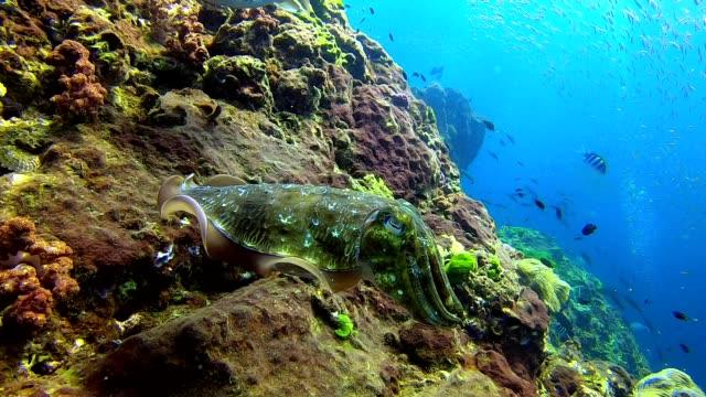 交尾期の水中野生ファラオイカ - コウイカ点の映像素材/bロール