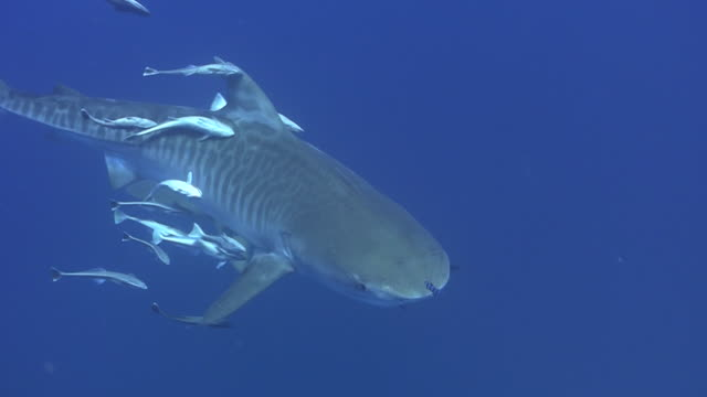 underwater wildlife and scenics, south africa - remora fish stock videos & royalty-free footage