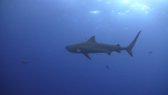 underwater wildlife and scenics, south africa - tiger shark stock videos & royalty-free footage