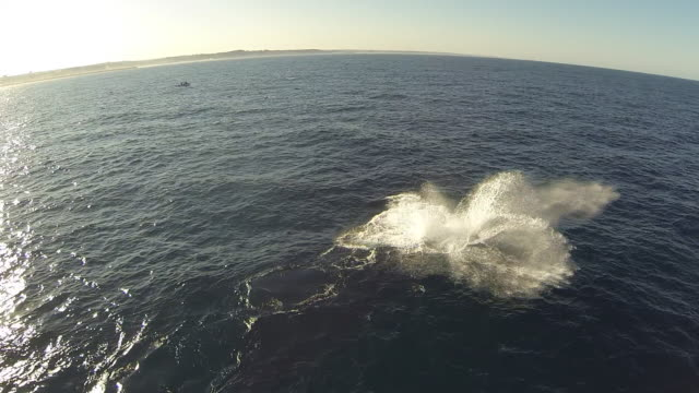 underwater wildlife and scenics, south africa - lobtailing stock videos & royalty-free footage