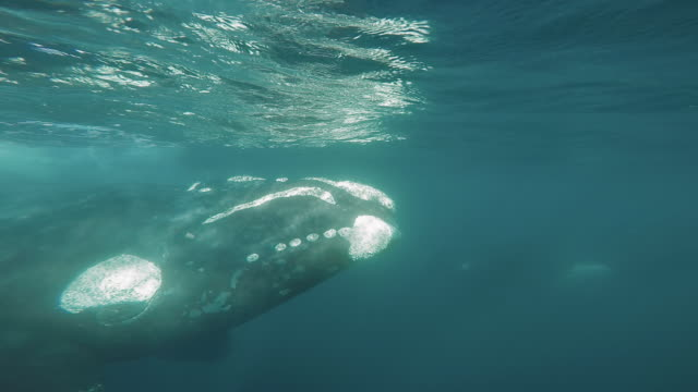 underwater wildlife and scenics, south africa - southern right whale stock videos & royalty-free footage