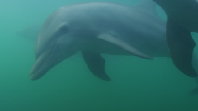 Underwater PAN with 2 Bottlenosed Dolphins swimming below surface close to camera then diving