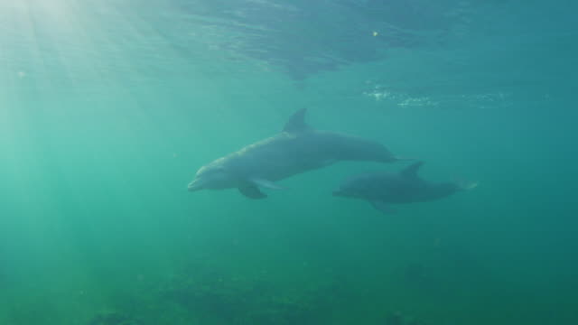 vídeos de stock, filmes e b-roll de underwater pan with 2 bottlenosed dolphins swimming below surface in sunlight - zoologia