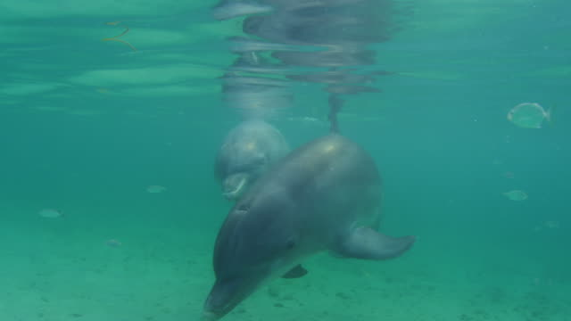 Underwater PAN with 2 Bottlenosed Dolphins swimming below surface with fish in foreground