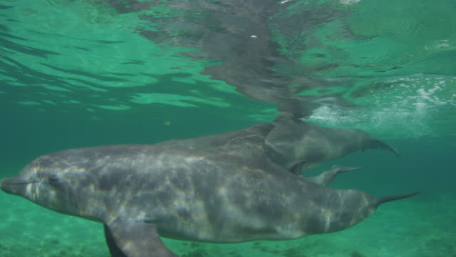 Underwater PAN with 2 Bottlenosed Dolphins with young calf breathing then swimming below surface