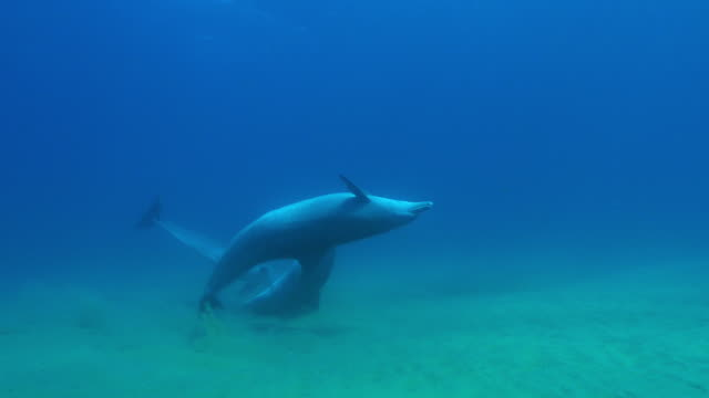 underwater pan with 3 bottlenosed dolphins swimming over seabed and scraping their backs - クジラ目点の映像素材/bロール