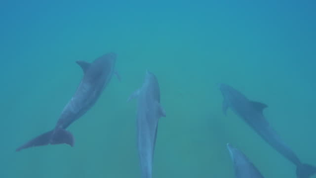 underwater pan with 4 bottlenosed dolphins swimming below camera and away - grey colour stock videos & royalty-free footage