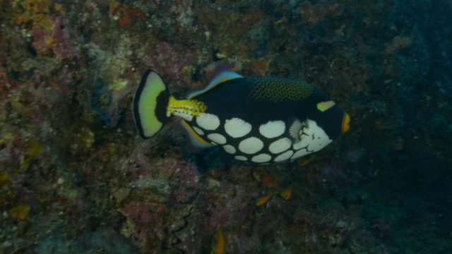 underwater ms pan with black and white  parrot fish swimming along coral reef - ブダイ点の映像素材/bロール