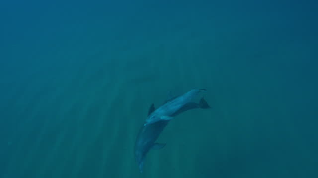 Underwater HA PAN with Bottlenosed dolphin and calf swimming and touching