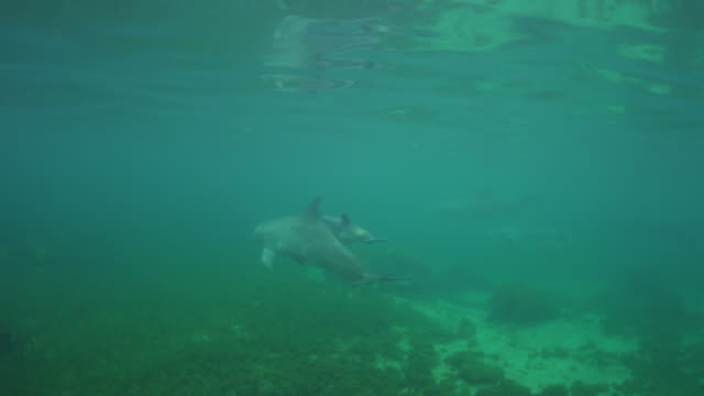 Underwater PAN with Bottlenosed Dolphin and calf swimming below surface and breathing