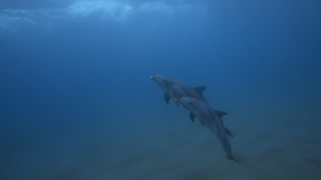 vidéos et rushes de underwater pan with bottlenosed dolphin and calf swimming between seabed and surface - grand dauphin