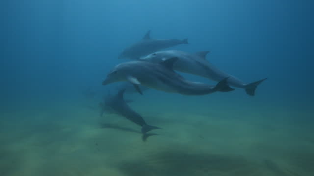 underwater pan with bottlenosed dolphin and calf swimming in vertical circles joined by larger group - cetaceo video stock e b–roll